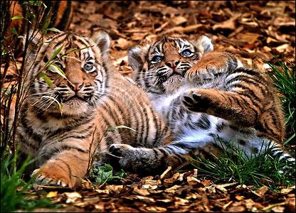 Тигрята.  Valter.  Живность.