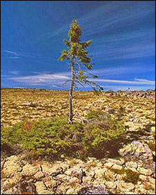 The 9,550-year-old spruce in Dalarna, Sweden (Photo: Leif Kullman)