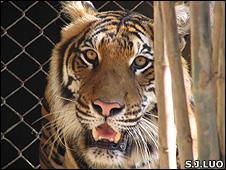 Captive tiger (Image: Shu-Jin Luo)