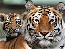 Captive Siberian tigers (image: AFP)