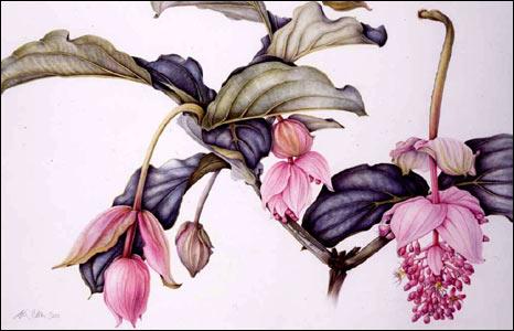 Medinilla Magnifica by Margaret Ann Eden.