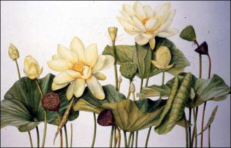 Yellow Lotus (Nelumbo lutea) by Beverly Allen.
