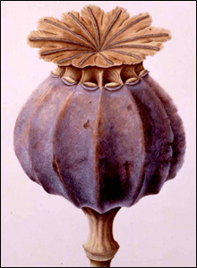 Poppy Seed Head by Brigid Edwards,