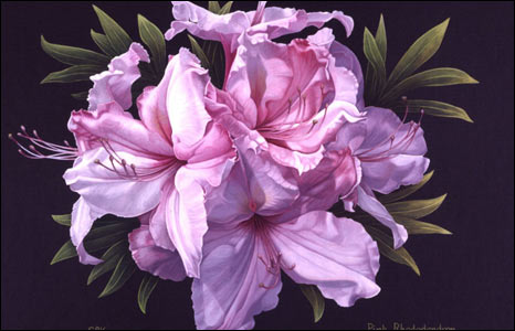 Pink Rhododendron by Sally Keir.