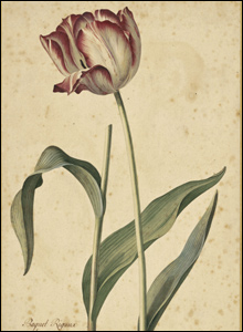 Tulip, from the Kew Collection.