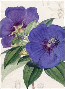 Pleroma macranthum. Credit: RBG Kew.