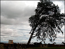 Tanzanian tree blown by wind