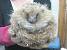 George the hedgehog at 1.7kg (3.7lb)