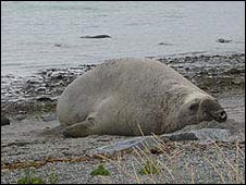 Male sea elephant, Tierra del Fuego