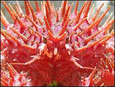 Centolla (crab), Image: Cesar Cardenas