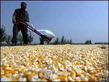 Corn grains drying in China's Liaoning province