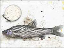 Asian Topmouth Gudgeon