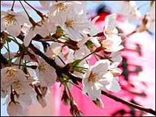 Japanese pink cherry blossom in bloom