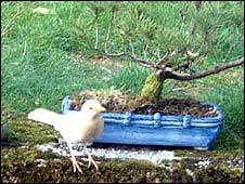 White blackbird (Pic: Phil Campbell)