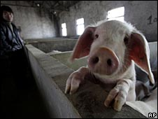 A pig bred for heparin in China, file image