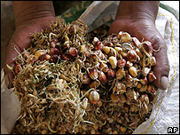 Maíz germinado para la preparación de chicha en Perú