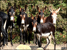 Wild Cyprus donkeys in the Karpas Peninsula 