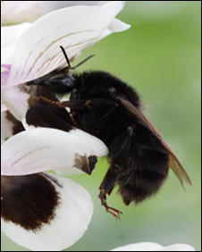Ruderatus bumblebee (Pic: Bumblebee Conservation Trust)