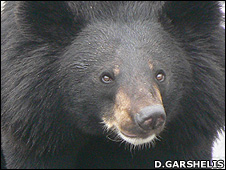 Asiatic black bear (Image: David Garshelis)