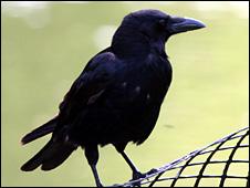 Crow (generic)