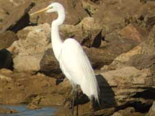 White egret (Picture courtesy of David Parnaby)