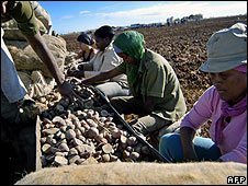 Cuban farmers sowing potatoes, January 2008
