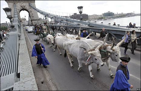 Hungarian cattle workers in Budapest