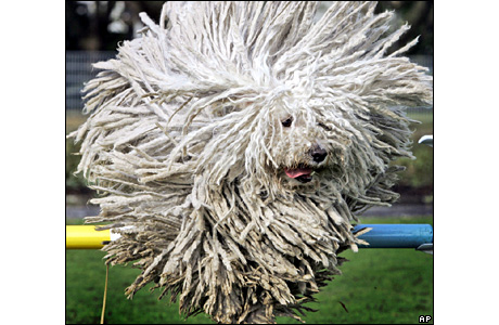 Hungarian Puli sheep dog