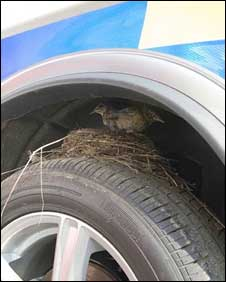 Bird nests on car wheel