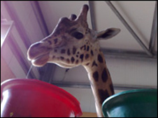 Gerald the giraffe