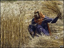 A woman harvests wheat in India