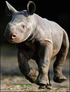 Black rhino (PA)