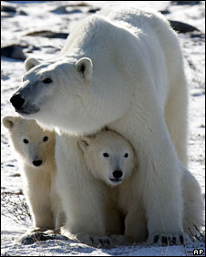 A polar bear mother and her two cubs in Wapusk National Park on the shore of Hudson Bay, Canada, 6 November 2007