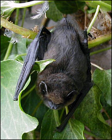 A pipistrelle bat (Pic: Martin Hind)