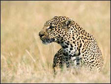 Leopard on Maasai Mara (BBC)