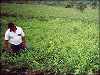 Plantaci�n de hoja de coca.