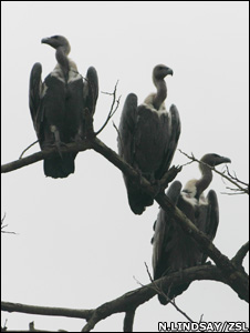 Oriental white-backed vultures (Image: Nick Lindsay/ZSL)