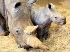 Whipsnade's new white rhino