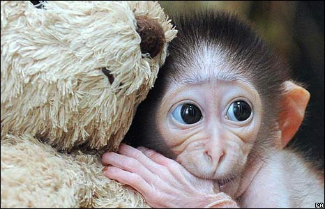 Baby mangabey monkey and teddy bear