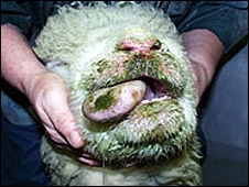 A sheep infected with bluetongue