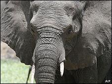 An elephant wanders in Tembe Elephant Park in the Northern KwaZulu Natal province in Jan 2007
