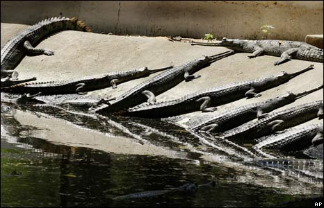 Gharials, or Indian crocodiles, in zoo, Patna, India