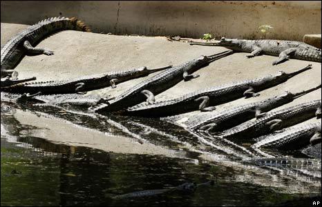 Gharials, or Indian crocodiles, in zoo, Patna, India