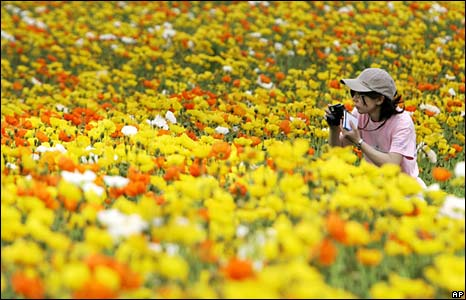 Woman taking picture in poppy field, Japan