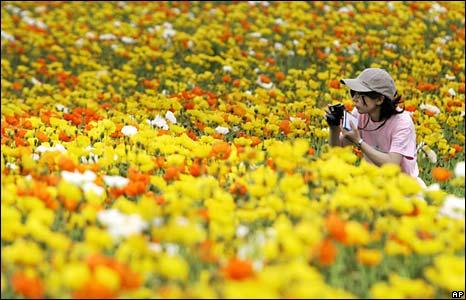 Woman taking picture in poppy field, Japan