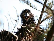 Sea Eagle - Iain Erskine