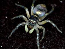 Female jumping spider (Daiqin Li)