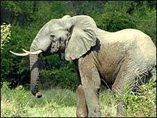An elephant in Virunga National Park in 2004