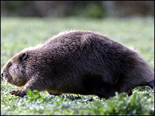 A beaver