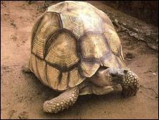 Angonoka tortoise: Pic British Chelonian Group